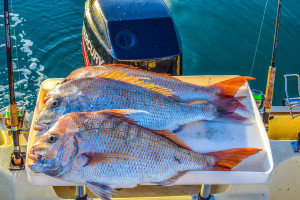 how to catch a snapper, fishing for snapper,