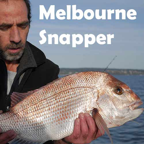 melbourne snapper , fishing , reedys rigz, squid