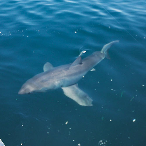 white shark, fishing ,great white shark