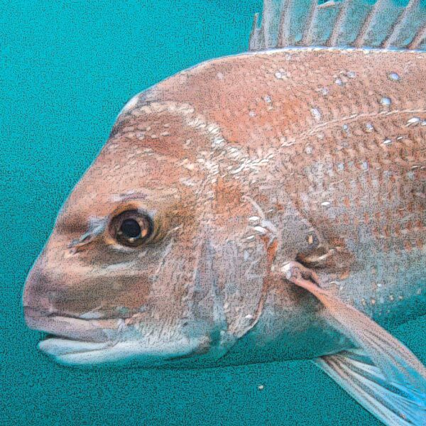 snapper, australian snapper, fishing , how to catch a snapper