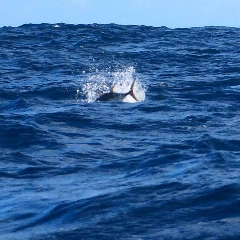 tuna stick bait, tuna, topwater,fishing,